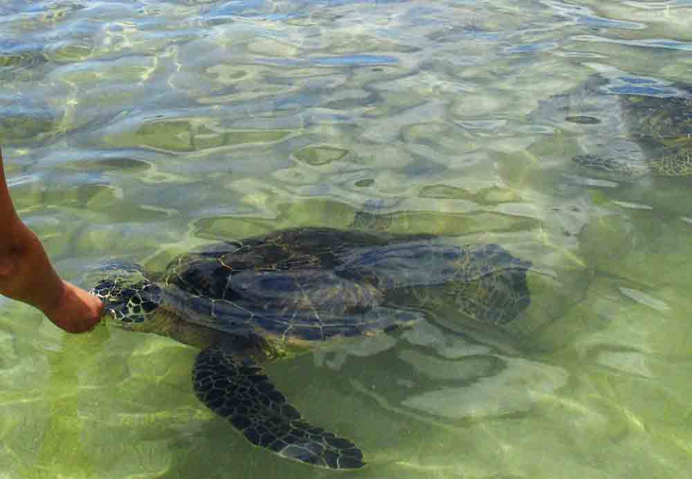 Turtles Ko'Olina Hawaii